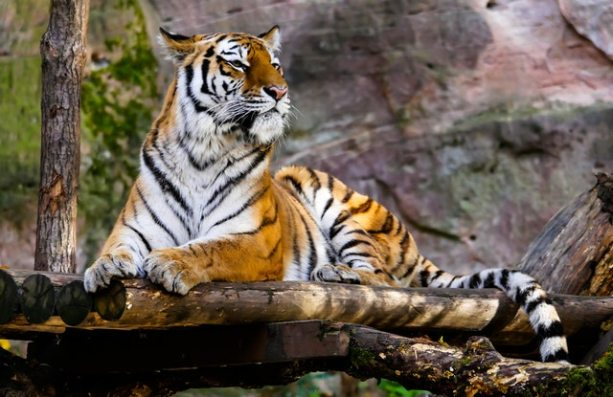 animal-big-cat-jungle-236601